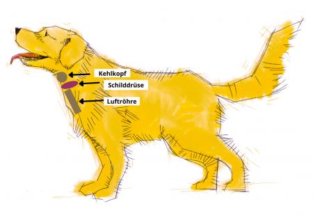 Hund mit Schilddrüse